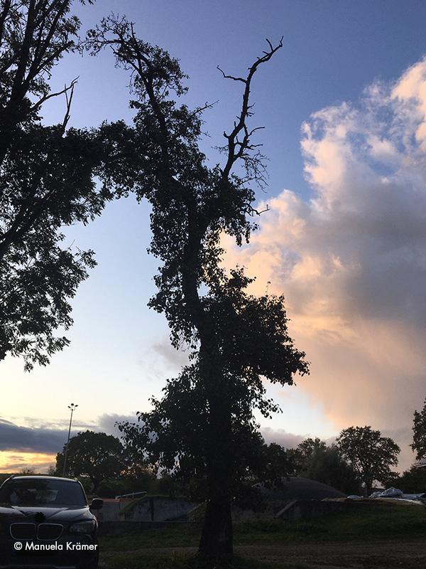 Alter knorriger Birnbaum in Gewitterstimmung