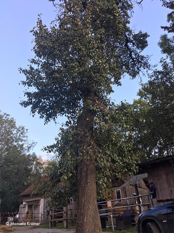 Birnbaum mit Früchten am Nachmittag.